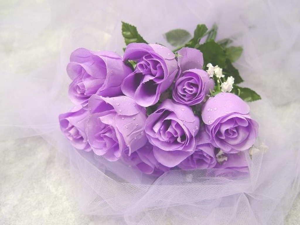 Những cánh hồng tím sang trọng, quý phái